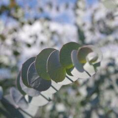Eucalyptus cinerea - Oligea